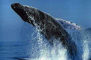 Visit Coolum beach for a great vantage point for Whale watching on the Sunshine Coast