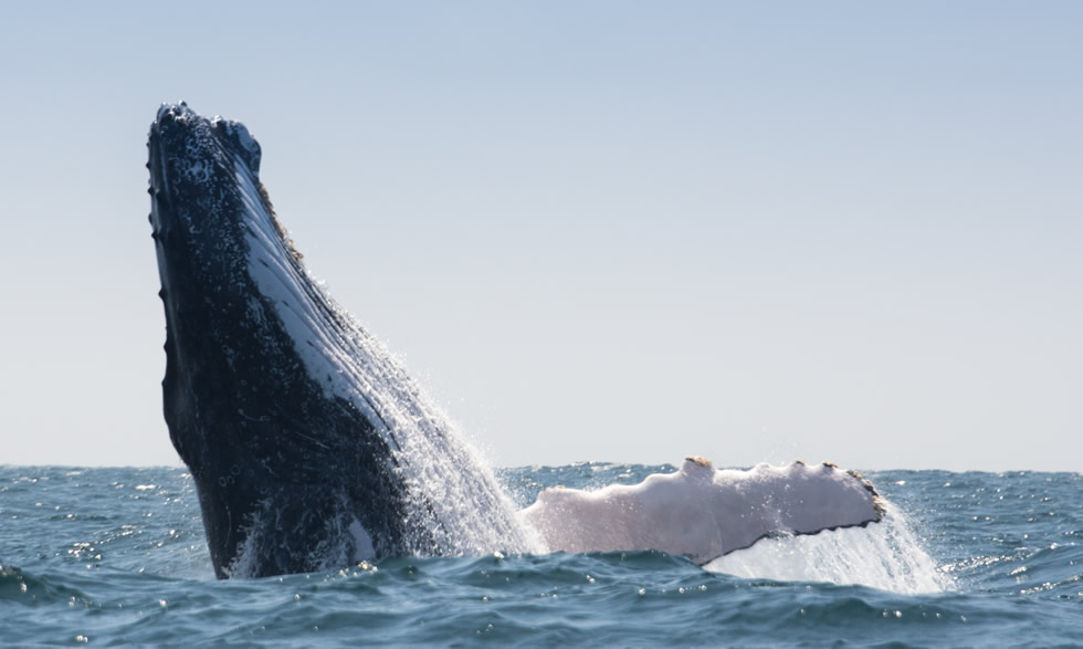Swim with the Humpback whales on the Sunshine Coast